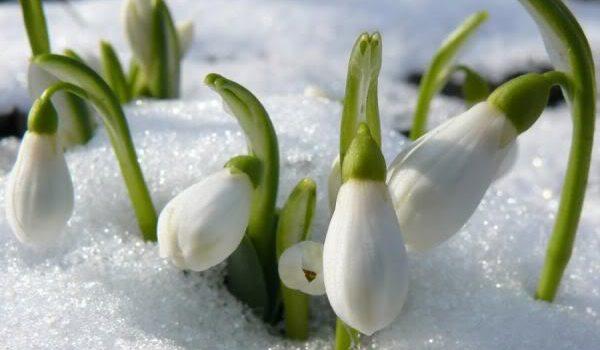 Un mărțișor confuzat de troienele de zăpadă