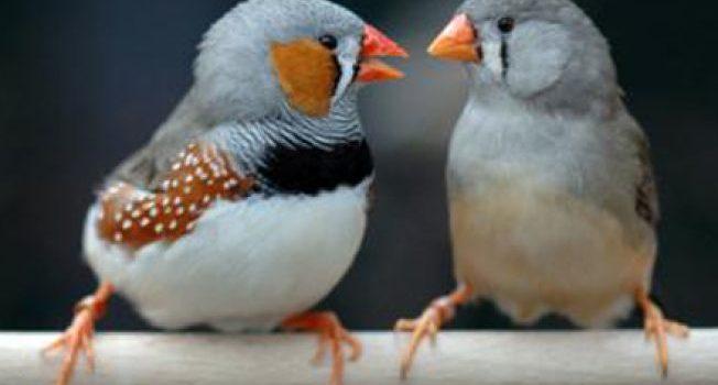 Păsărele australiene în jungla de la Șoimuș