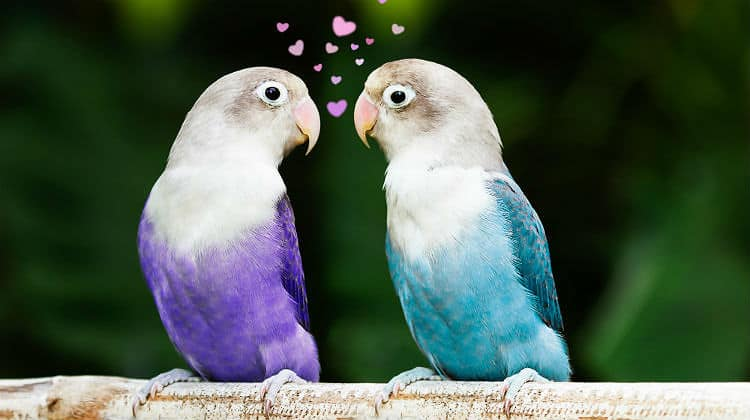 blue and purple lovebird standing and staring on the perch lovebirds