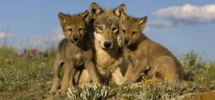 Cum să crești o haită de lupi? By Ania
